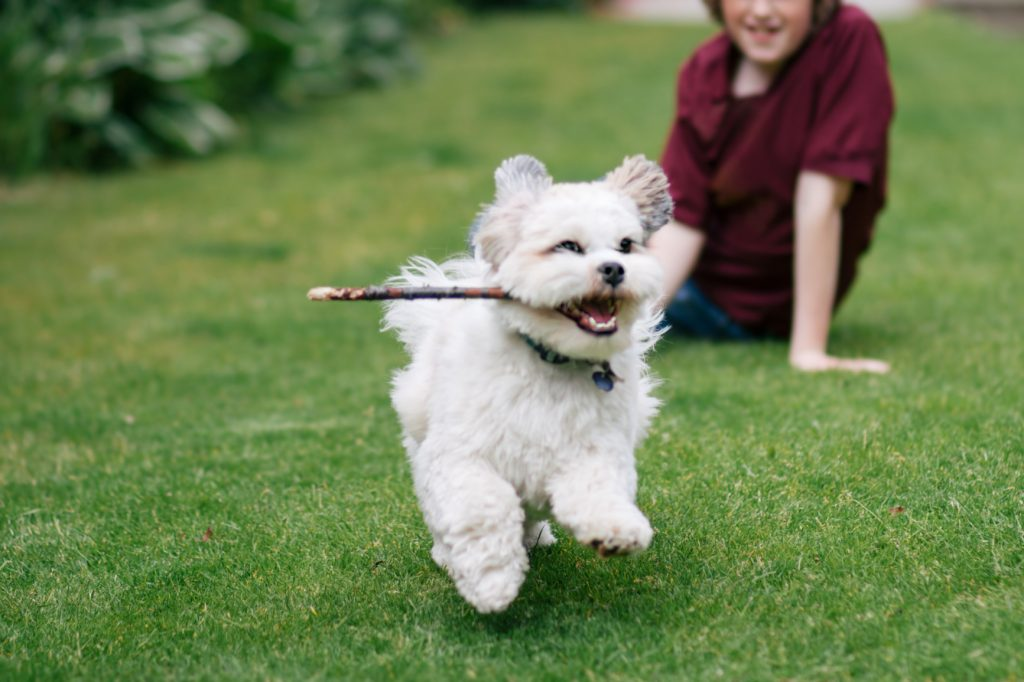 A small dog runs with a stick, burning off energy instead of digging.