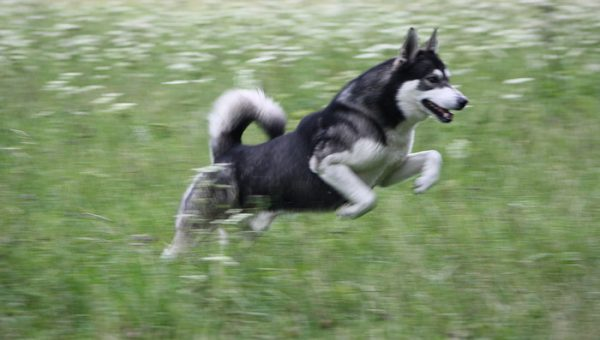 Have You Ever Seen a Dog 'Stotting' Like this Cute Husky? [Video]