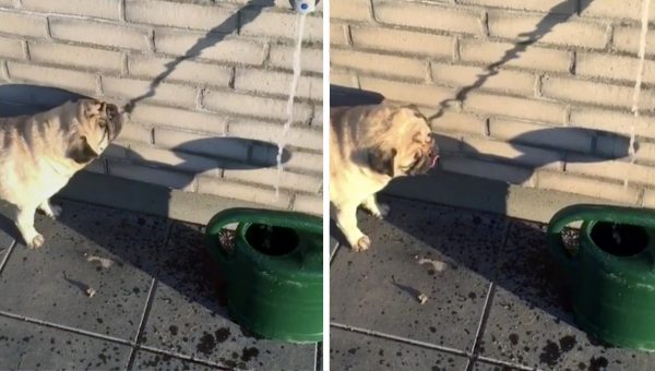 Pug Fooled by Shadow is Adorable as Heck [Video]