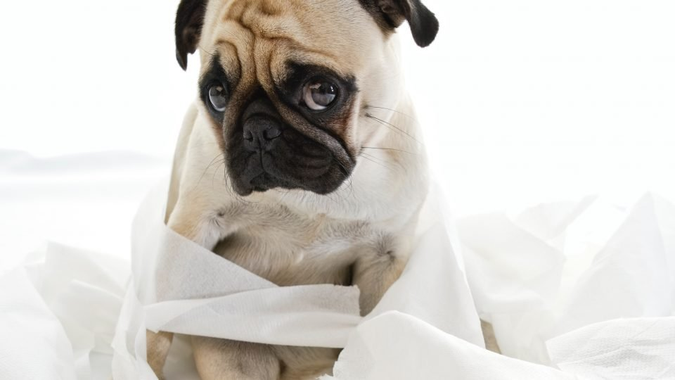 A pug puppy looks guilty, surrounded by unraveled toilet paper.