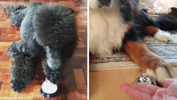 Dogs Everywhere Are Trying the Bell Challenge and it's Adorable