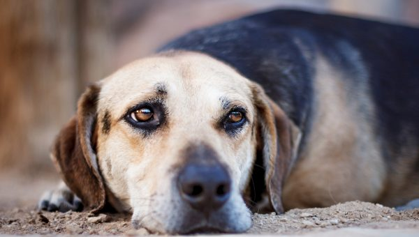 Why do Dogs Dig? Here's Why They Dig at Blankets, Carpet, Dirt, and More