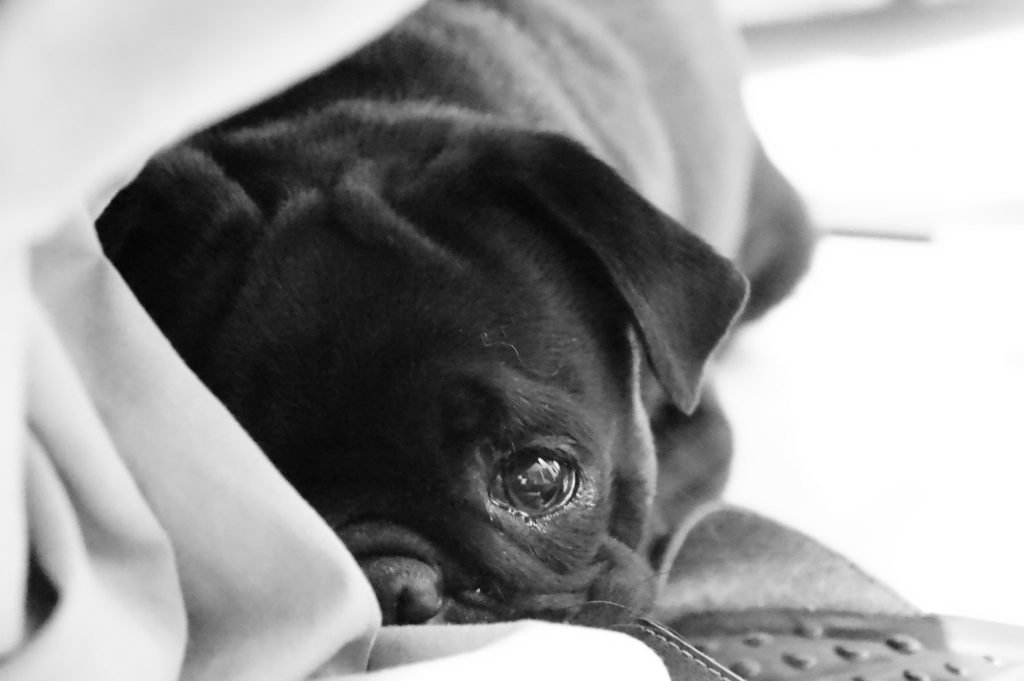 A pug puppy snuggles into blankets.
