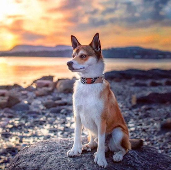The Norwegian Lundehund Your Complete Guide To Americas Rarest Dog