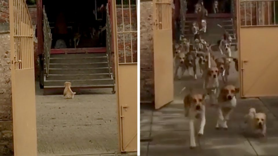 spunky terrier rules a pack of foxhounds HERO