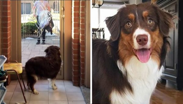 Mini Aussie Brings Out the Welcome Wagon Like Nobody's Business [Video]