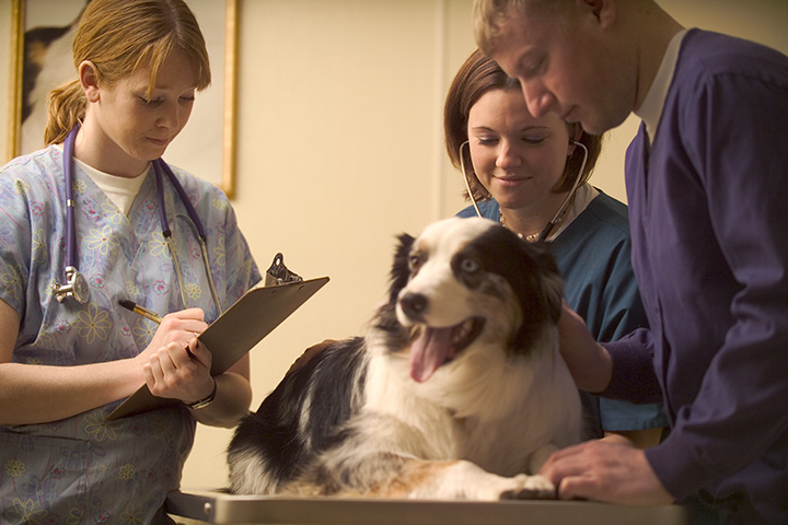 A calm veterinary team takes the vitals of a smiling border collie.