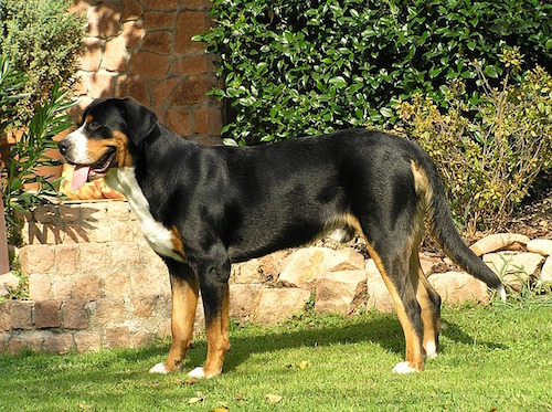 Greater Swiss Mountain Dog Vs Bernese Mountain Dog The