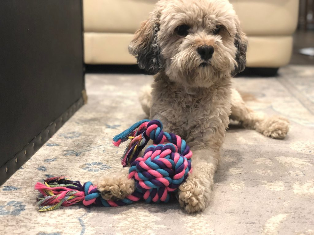 Dog playing with rope toy on a rug