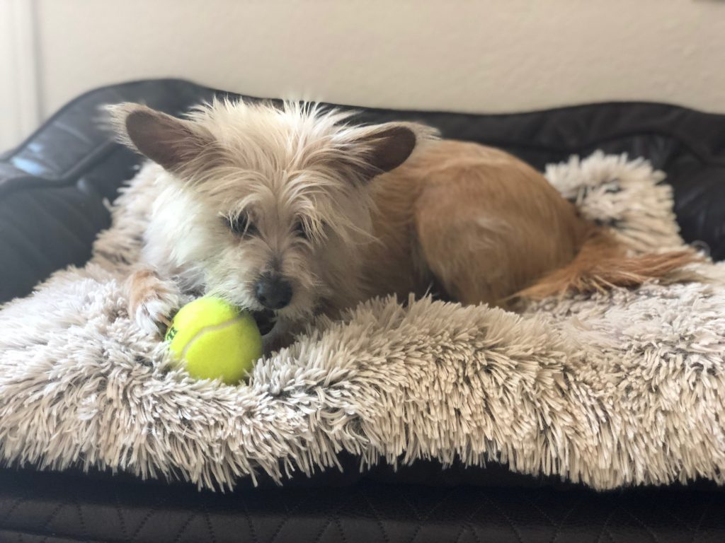 Dog chewing on tennis ball laying on a pet bed