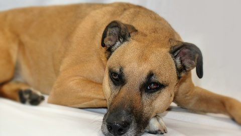 A black mouth cur rests on a couch.