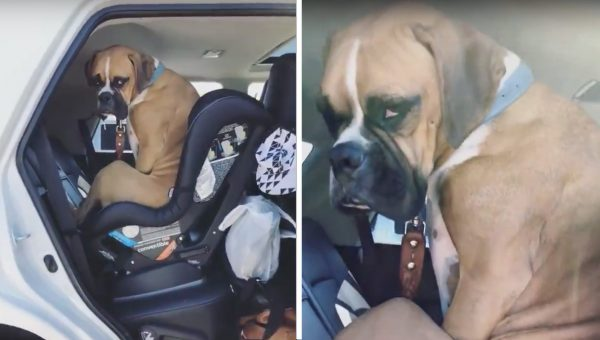 Boxer Pulls Impressive Pout When Asked to Vacate Child's Carseat
