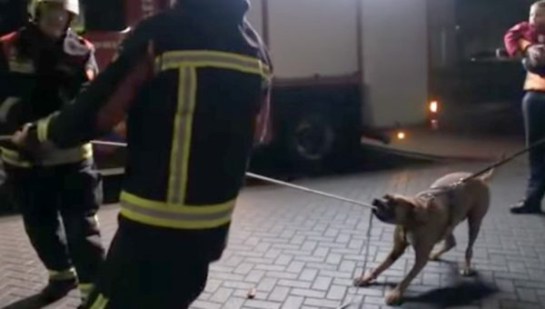 Very Good Dog Helps Firemen Pull Down Tree [Video]