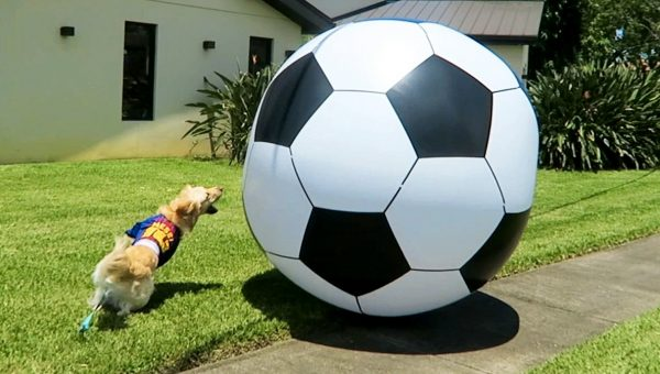 Watching this Golden Retriever Play with His Giant Soccer Ball Is Pure Happiness