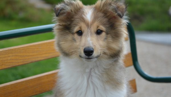 9 Facts that Shetland Sheepdog People Know by Heart