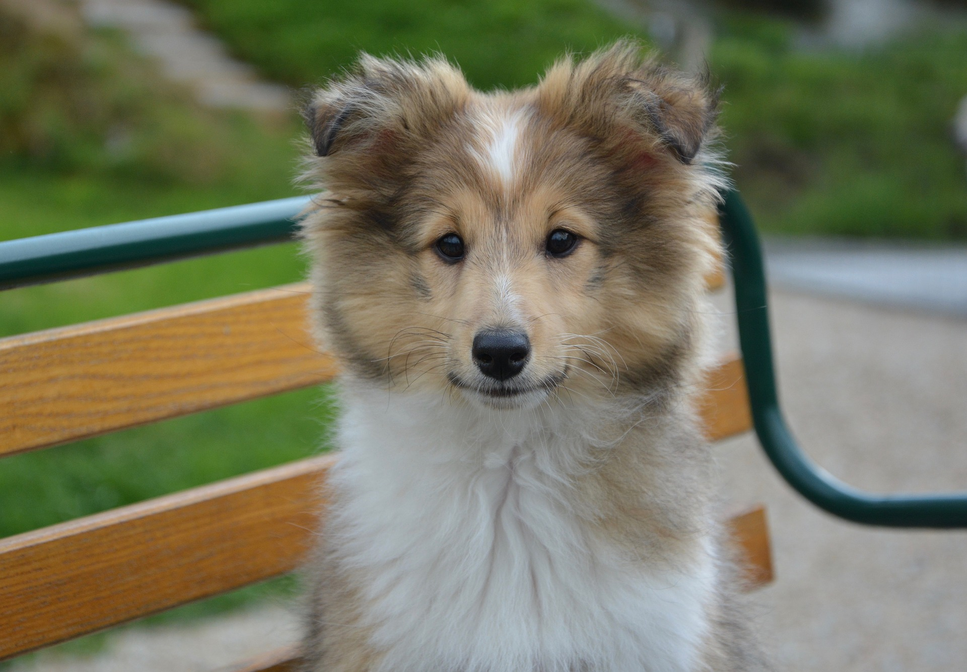 Shetland Sheepdog Facts 9 Things