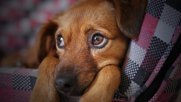 dachshund puppy looking cozy but sad for crate training