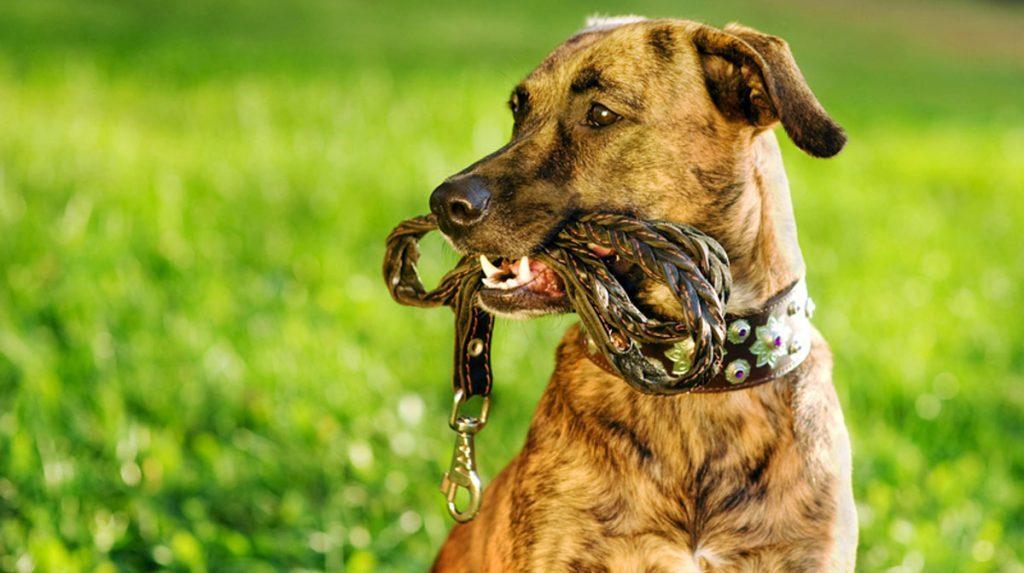 chien avec sa laisse dans la gueule