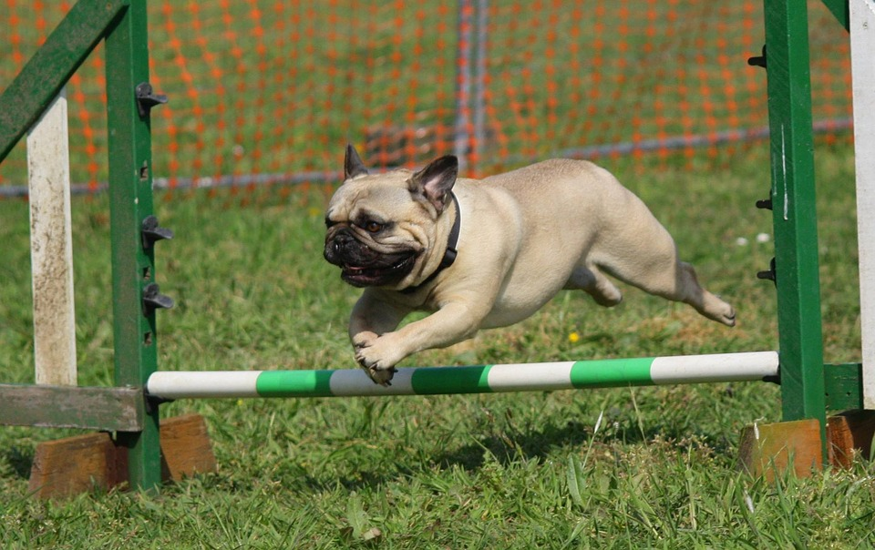 A small dog jumps over an agility hurdle.