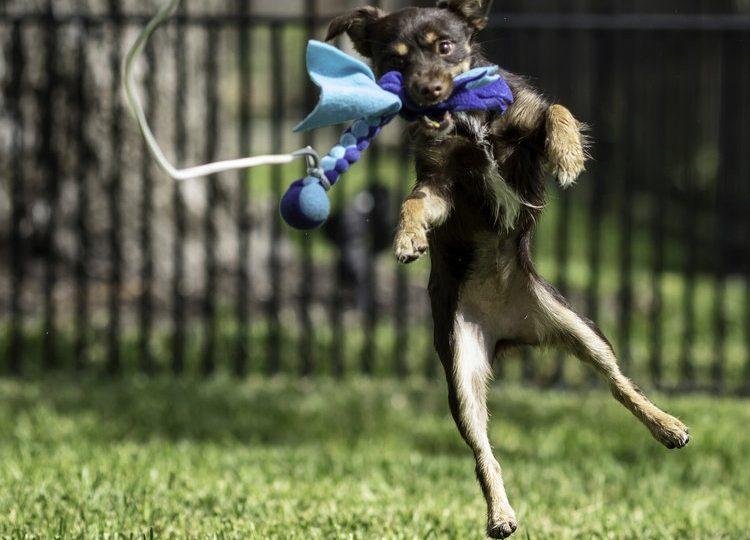 A dog jumps to catch a fleece toy on a flirt pole rope.
