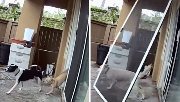 Here's What Happens When the Dog Completely Forgets About the Dog Door [Video]