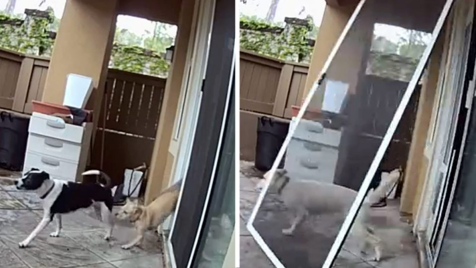 golden mix forgets dog door and takes out screen door HERO