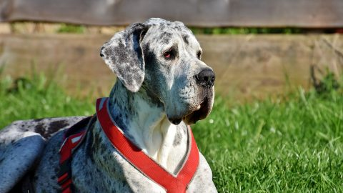 A great dane lounges in a yard.