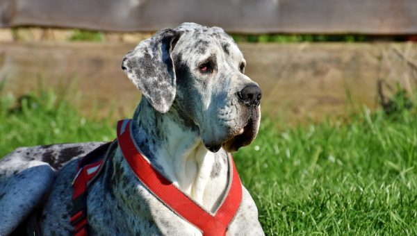 5 Best Harnesses for Great Danes