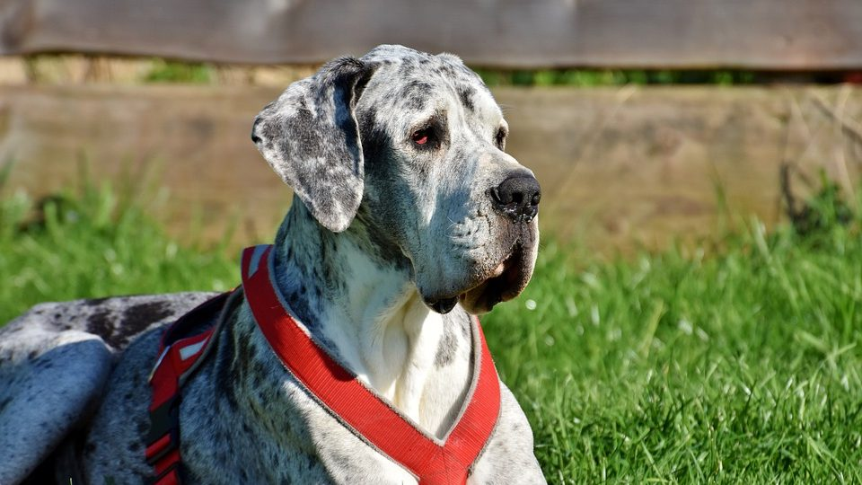 11 Things Only Great Dane People Understand The Dog People By