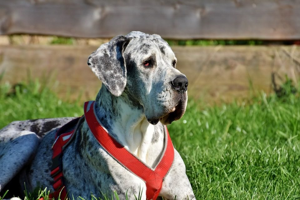 a Great Dane lounges in a yard