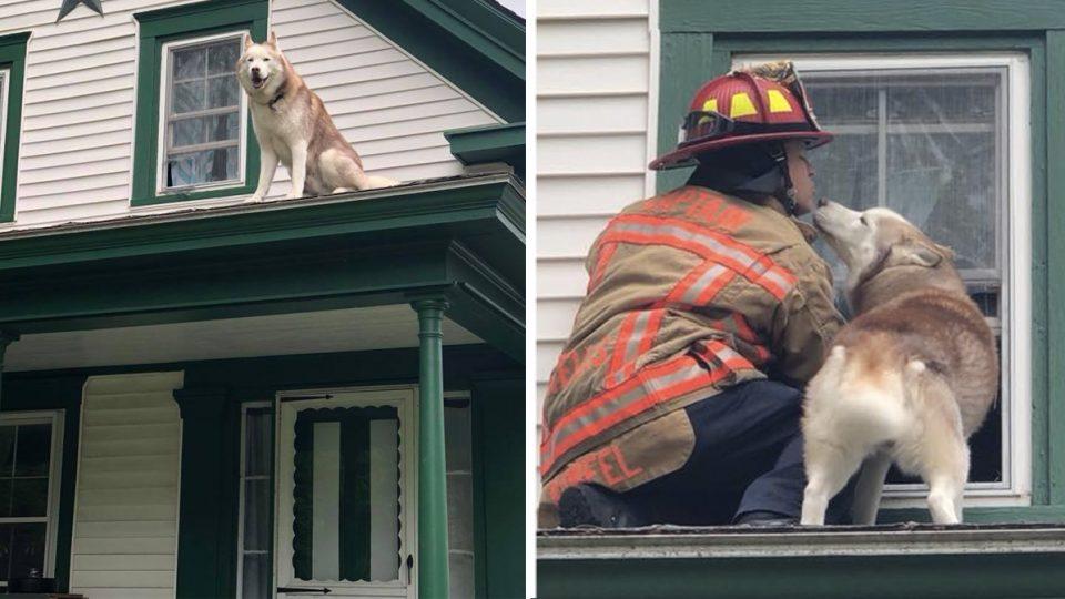 husky jasper kisses firefighter on roof HERO