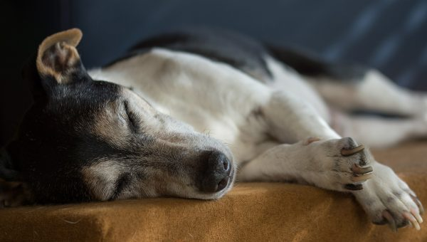CBD Oil: How to Find Out if It's Right for Your Dog