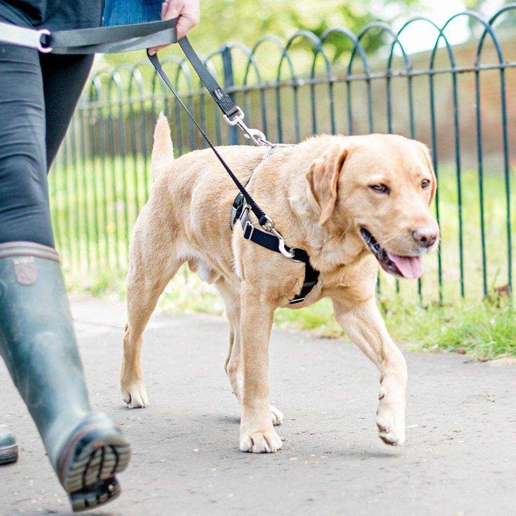 Lab wearing Freedom No-Pull Harness