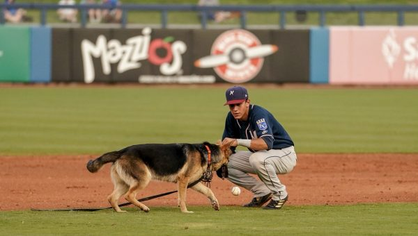 German Shepherd Pup Escapes onto the Field at 'Bark in the Park' [Video]
