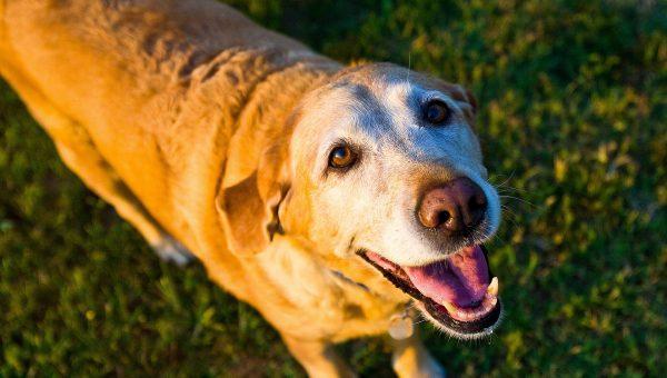 Breed Article: Labrador Retriever