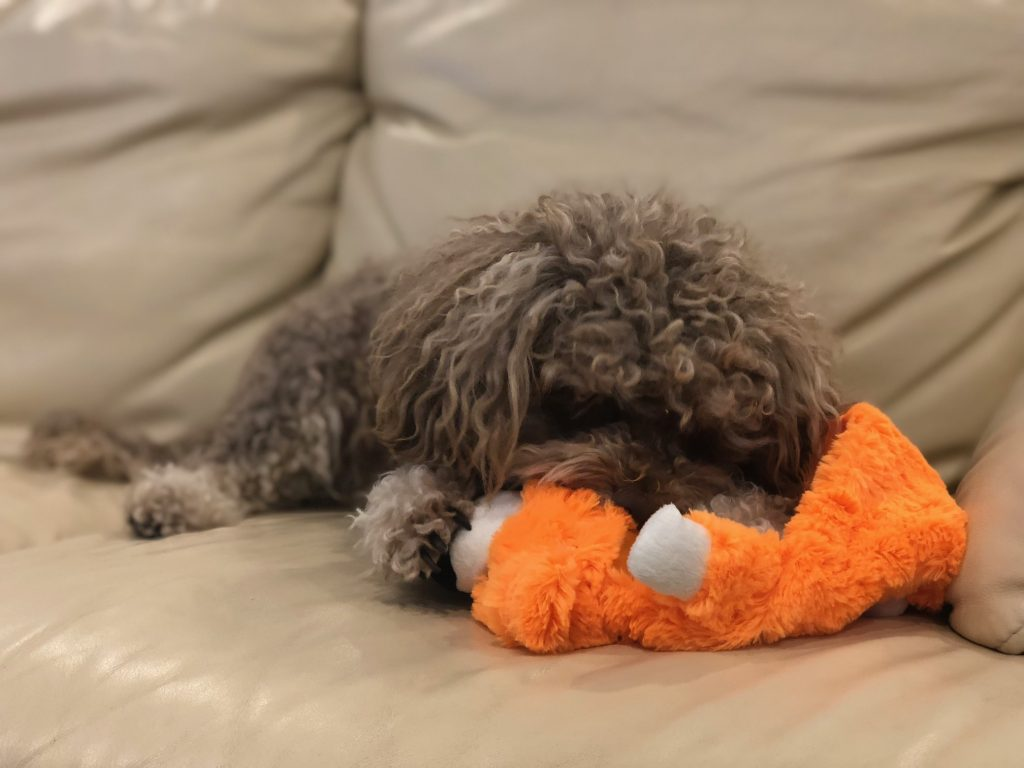 Dog playing with stuffingless chew toy on a couch