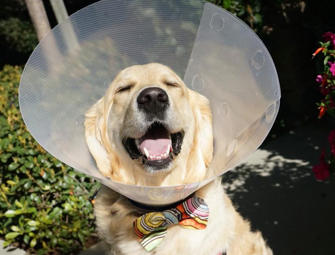 Koru Bear the Golden Retriever smiles in the sunlight, wearing a cone.