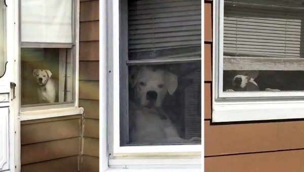 Watch This Hilarious Boxer Refuse to Let Owner Out of Her Sight