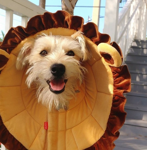 A happy terrier wears a soft cone styled like a lion mane.