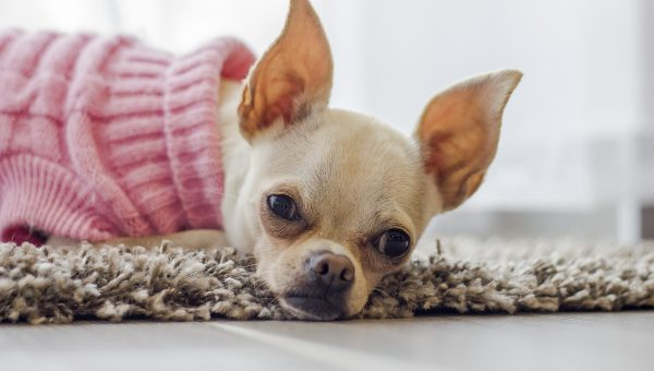 10 Best Clothes and Accessories for Chihuahuas