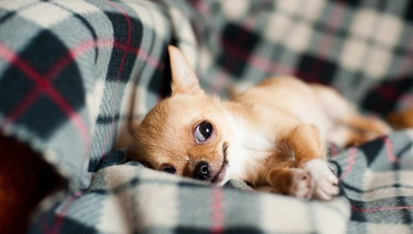 5 Best Dog Beds for Chihuahuas