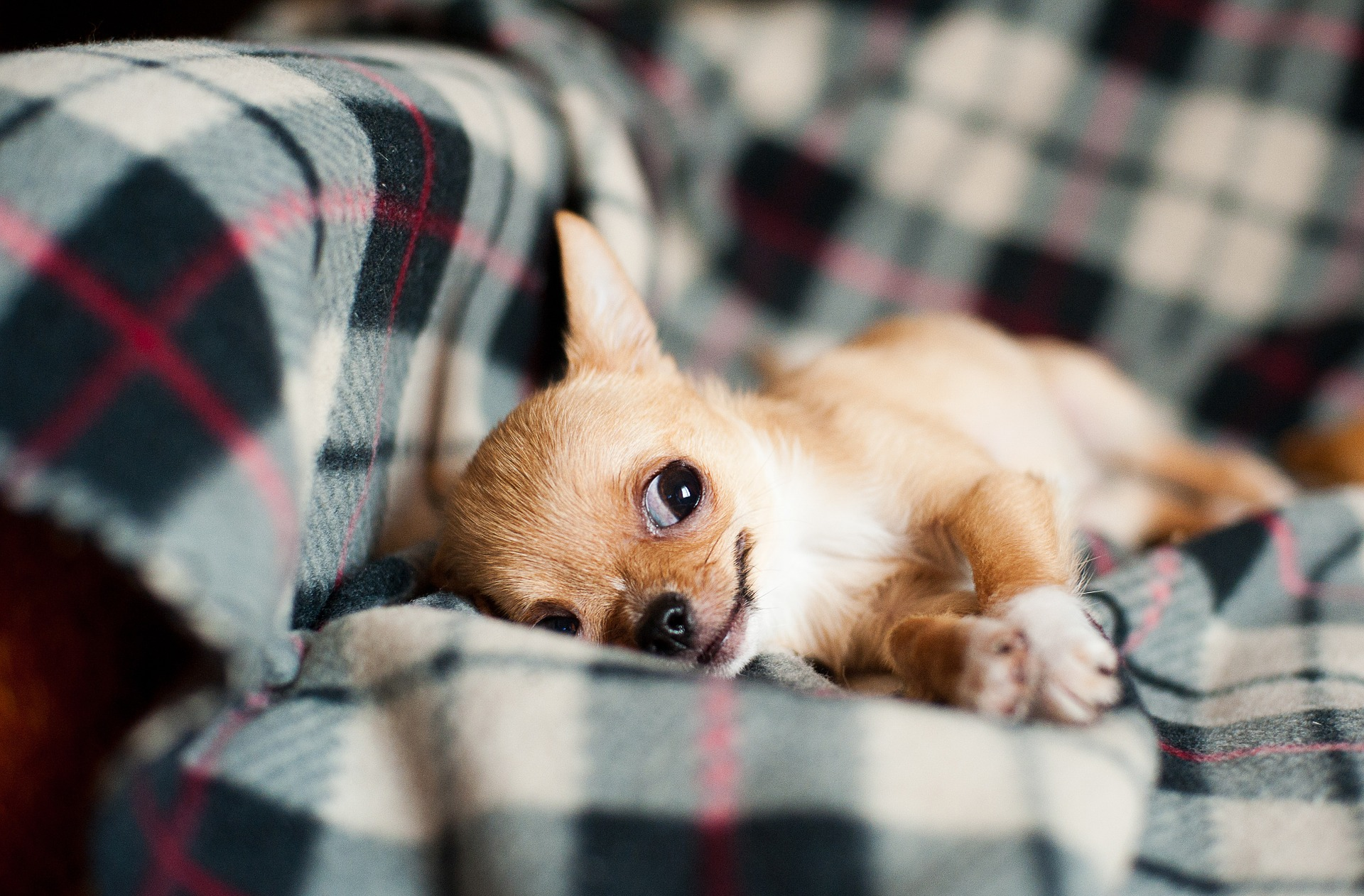 Chihuahua Puppies Everything You Need To Know The Dog People By Rover Com