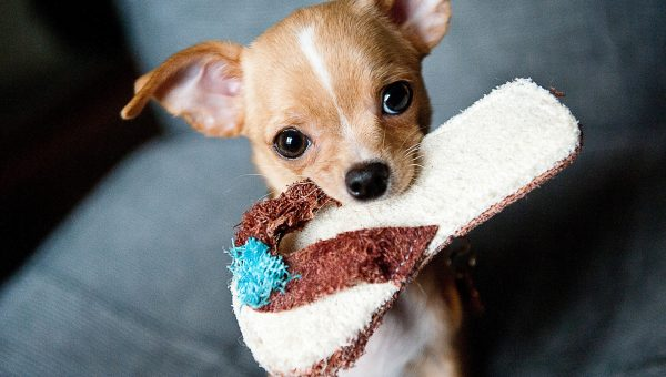 Top 5 Toys for Chihuahuas
