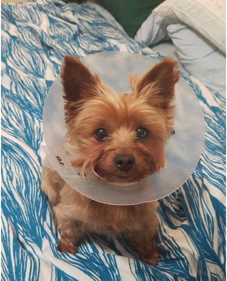 Chloe the Yorkshire terrier makes her cone look good.