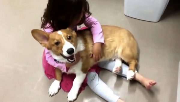 Corgi Known as 'Tantrum Stopper' Comforts Girl in Sweet Video