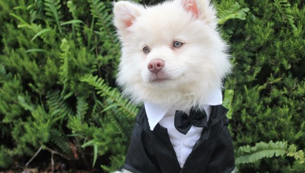 A small dog wears a tux at a New York wedding.