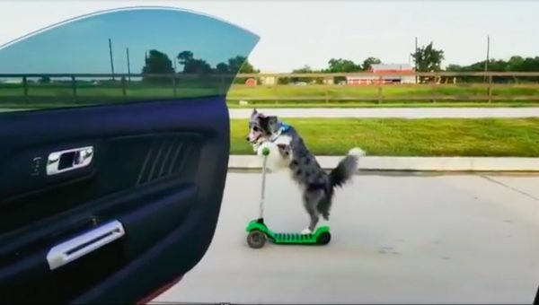 Talented Border Collie Takes on Viral Dance Challenge #dotheshiggy