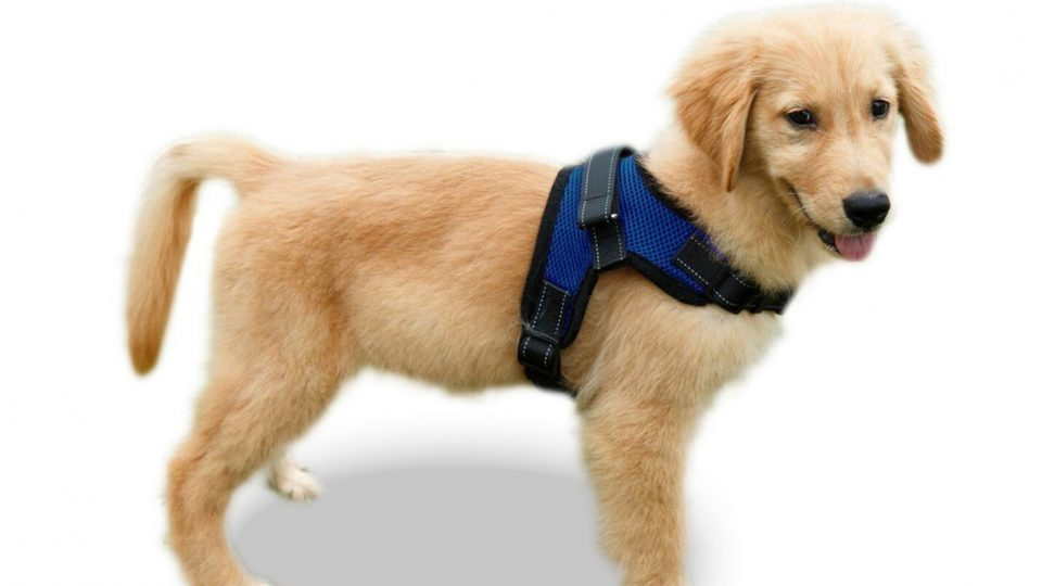 Image of: Puppy The Best Harnesses For Golden Retrievers The Best Harnesses For Golden Retrievers The Dog People By Rovercom