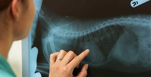 A vet examines an animal x-ray.