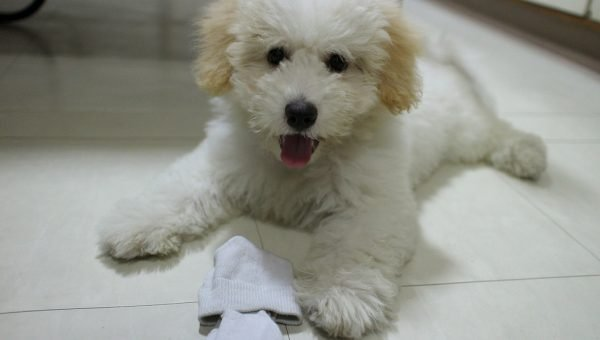 10 Best Dog Toys for Maltese Dogs and Puppies